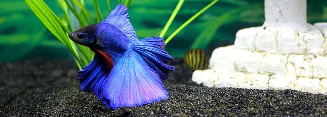Betta fish care guide for Water temperature for betta fish tank