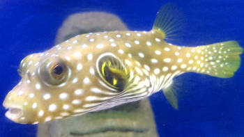 Stars and stripes puffer fish care guide for Puffer fish diet