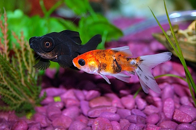 Goldfish with pink gravel substrate