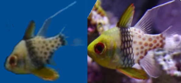 Male and female cardinalfish