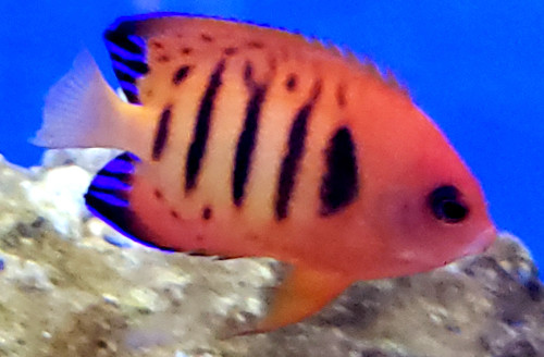 Dwarf Flame Angelfish