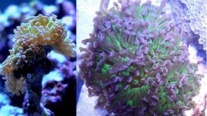 Hammer coral growth
