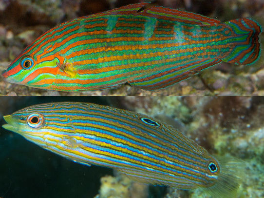 Male and Female Melanurus Wrasse